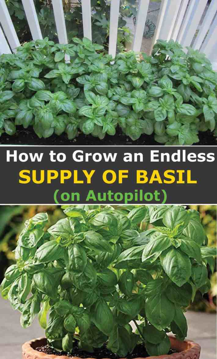 9 Actionable Tips for Growing Basil on Autopilot and Basil Care