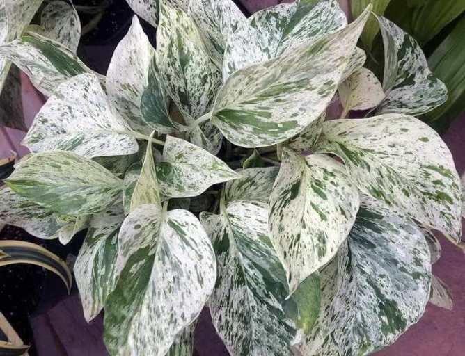 Marble queen pothos plant care