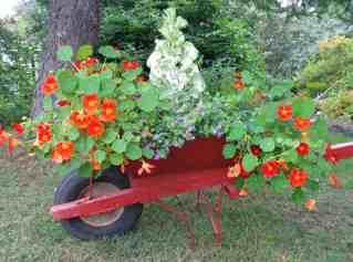ontainer Gardening Ideas - Old Wheelbarrow planter - nasturtiums