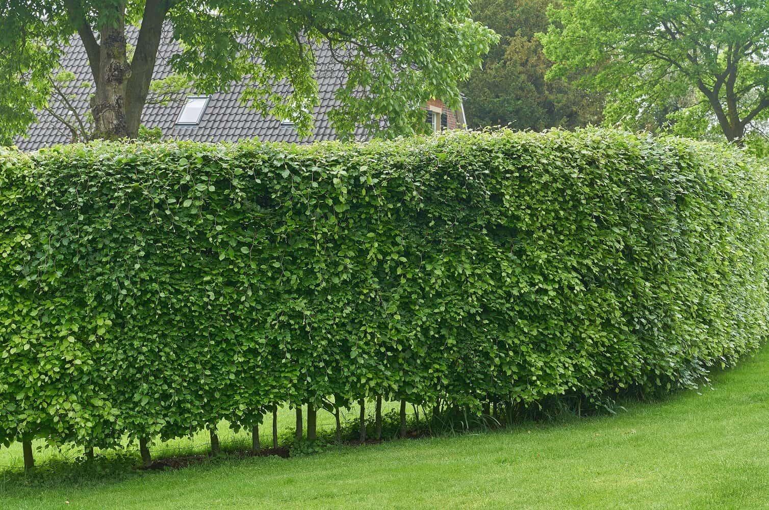 Fast Growing Hedges - European Hornbeam Hedge - Carpinus betulus Featured