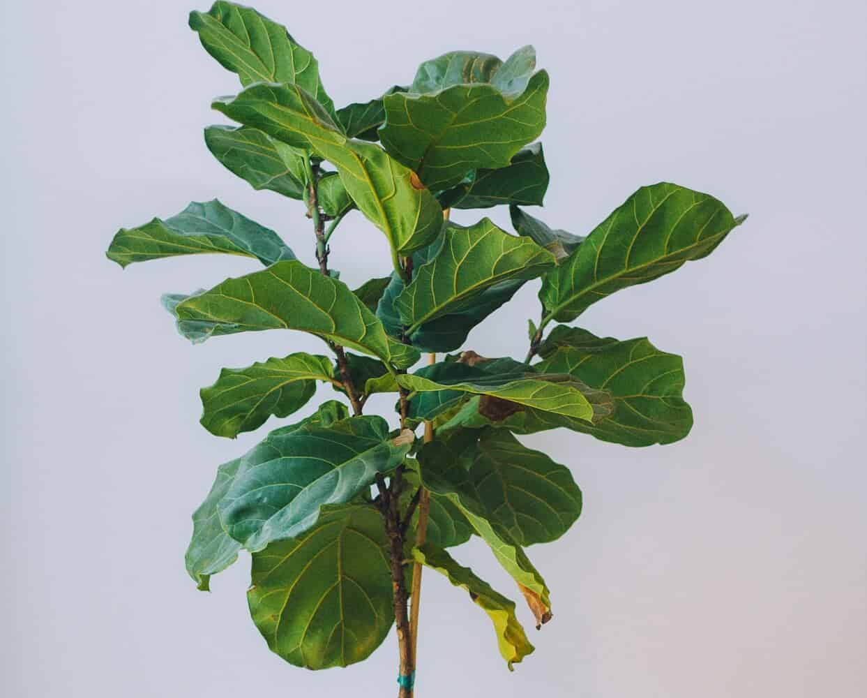 Brown Spots on Fiddle Leaf Fig? Here's How to Treat It