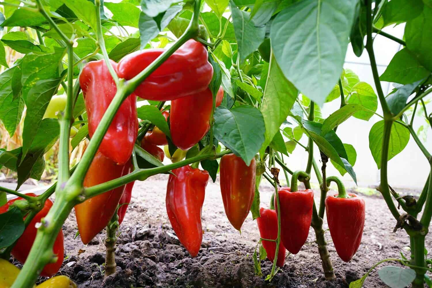 15 Types of Pepper Plants to Grow in Your Garden