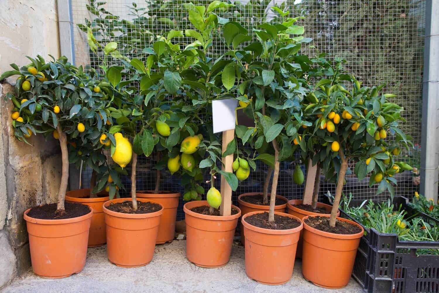 How to Grow a Lemon Tree from Seed (5 Easy Steps)