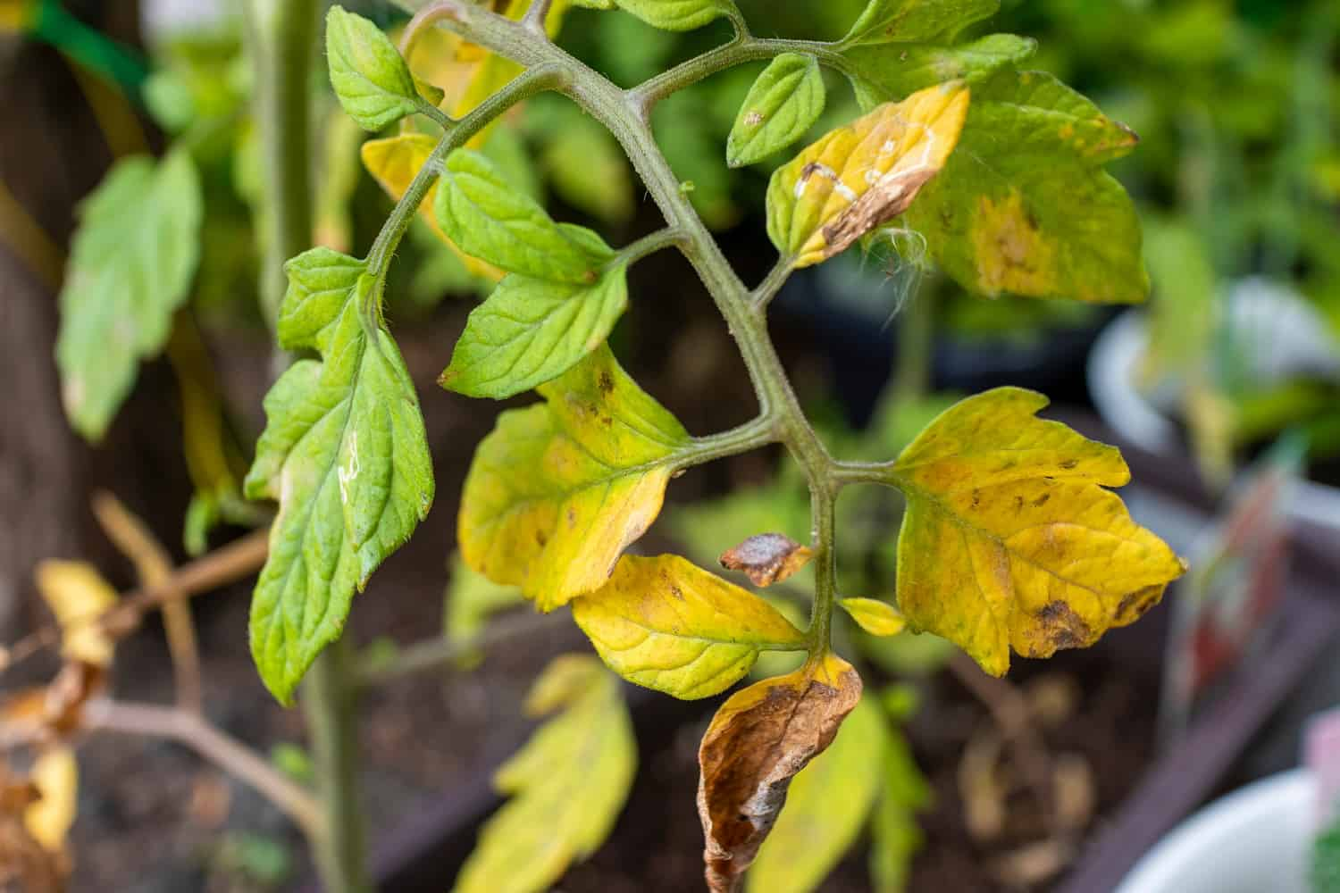 Tomato Leaves Yellowing? These Are the Reasons Why
