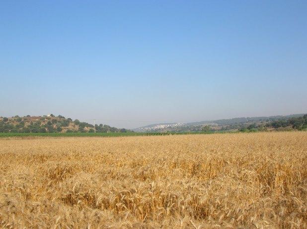 שדה חיטה במפגש נחל יפתחאל ונחל ציפורי ליד מצפה זבולון