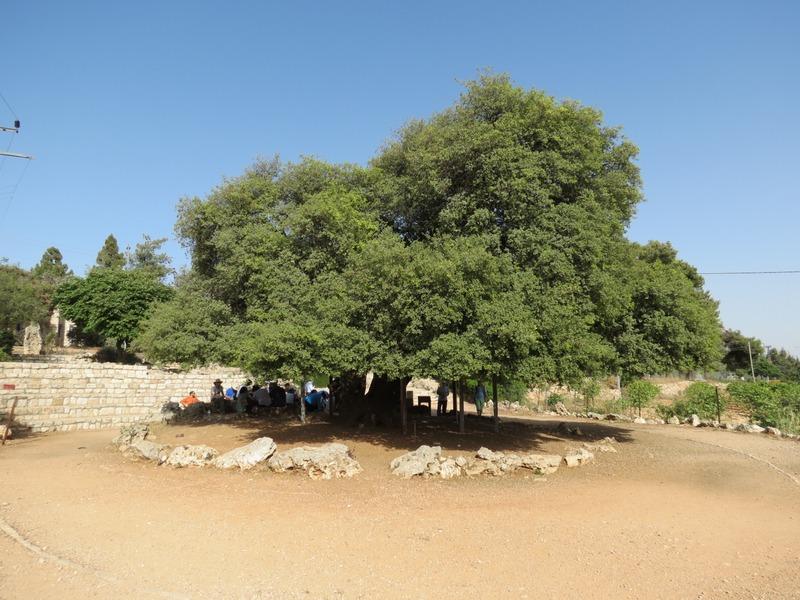 העץ הבודד