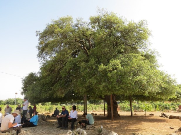 העץ הבודד- האלון הבודד