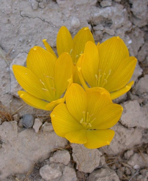 חלמונית גדולה (שם מדעי: Sternbergia clusiana) צילום:Gideon Pisanty (Gidip) גדעון פיזנטי