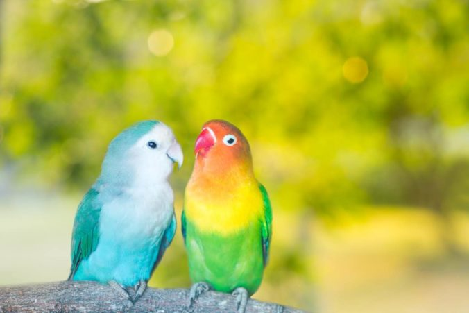 What Causes The Pbfd Virus In Lovebirds Know The Reasons
