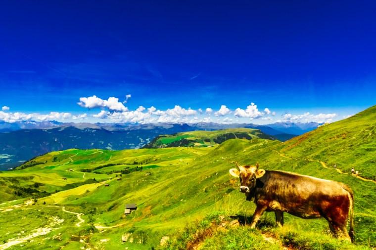 Kuh in Südtirol