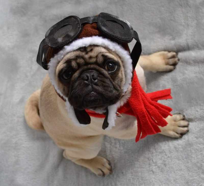 Pug waiting for flight dressed as airline captain.