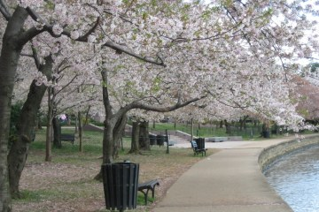 Blooming cherry blossoms near Tidal Basin in West Potomac Park, Washington, D.C.