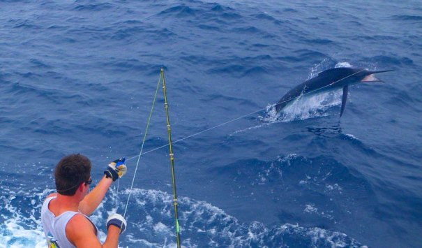 tracing a marlin bermagui bluewater classic winning fish