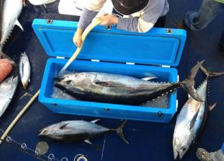 65 kg caught on a bluefin tuna charter