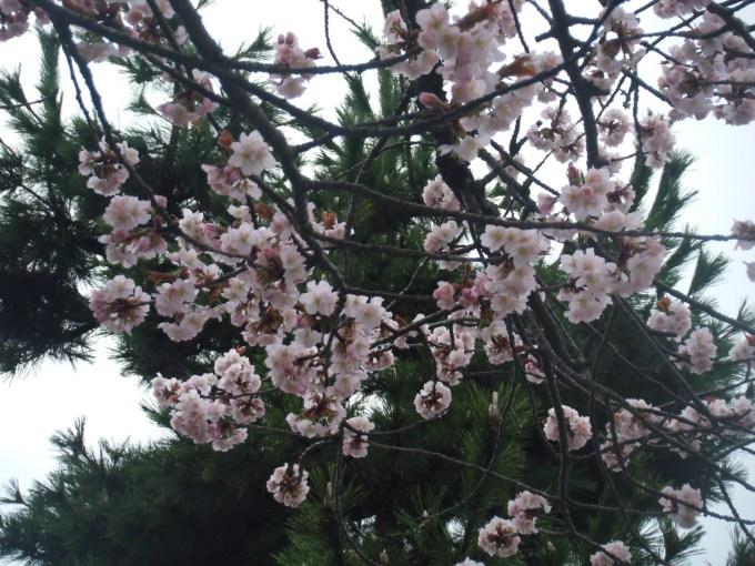 20160422_SAKURA