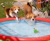 Beagle-Poolparty, 2015