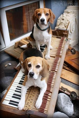 Herrchen bekommt ein neues Klavier...