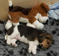Houndmusic-Beaglechen und Ikea-Beagle