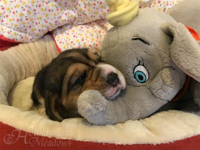 Jedem Beagle sein Dumbo, Tag 17