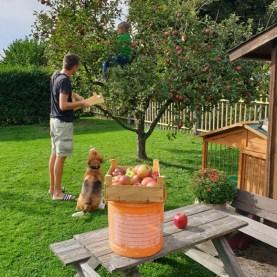 Henry bei der Apfelernte...