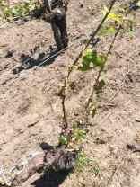 vin-medoc-grele-apres-une_semaine (5)