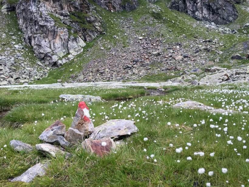 Scheuchzers Wollgras im Wangenitztal