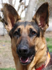 German-Shepherd-Flies-Biting-Ears-1.jpg