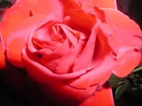 Caring for your roses in January