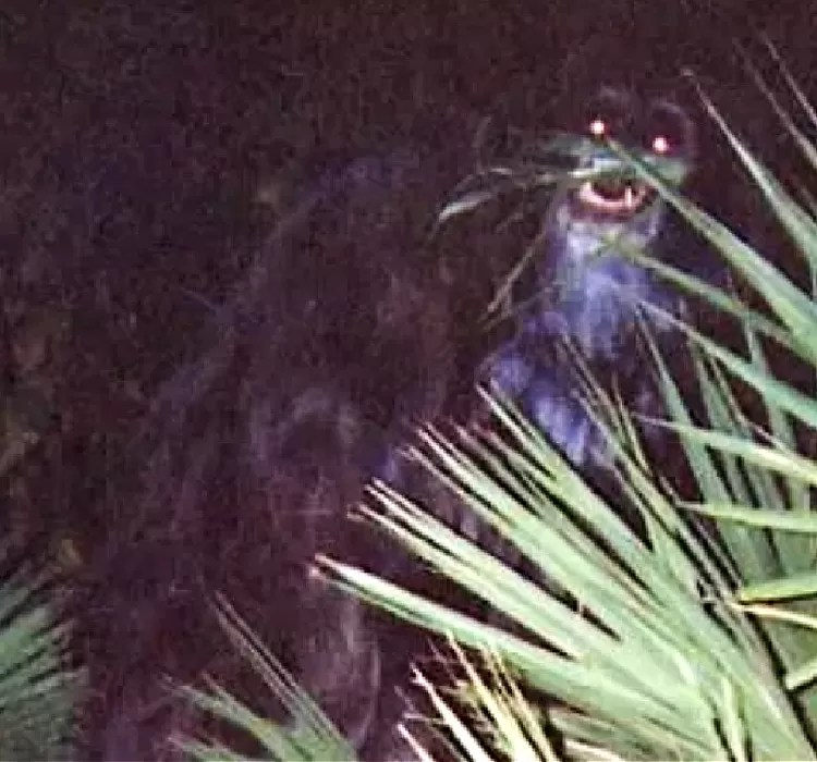 The Skunk Ape is tangentially related to the Bigfoot, but reportedly much smaller.