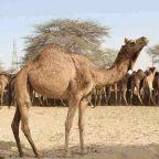 camel, meat, meat-lover