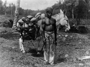 Man with a donkey, gathering coconuts for copra. Taken in Samoa, circa 1900
