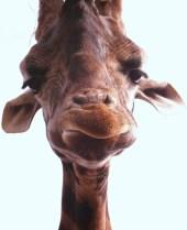 giraffe-600548_1280