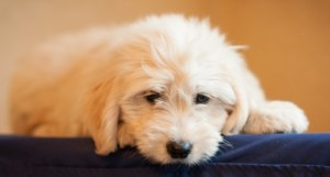 """""""Dolly""""- our cream goldendoodle"""