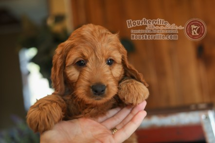 """Bubba"" - F1 Mini Goldendoodles"
