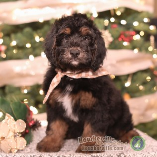 """""""Ollie"""" F1 Mini Bernedoodle Male (AVAILABLE)"""