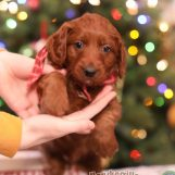 """""""Ralph""""-F1B PETITE GOLDENDOODLE AVAILABLE"""