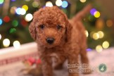 """""""Teddy""""- very curly male (teal c.)"""