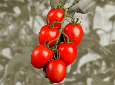 https://i2.wp.com/www.houwelings.com/gifs-2/Roma-Tomatoes-on-the-Vine.jpg
