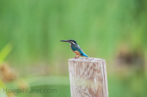 Common Kingfisher, TLV, Israel