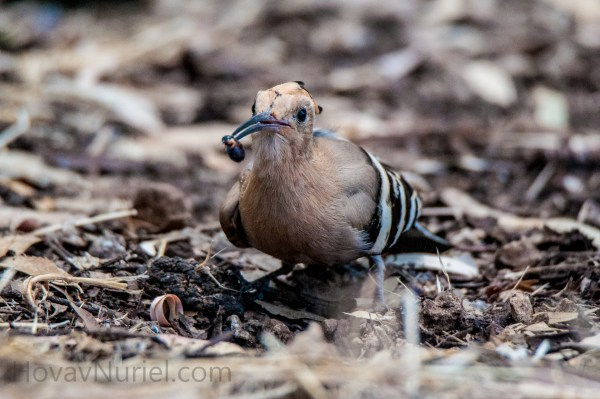 Hoopoe snack time, TLV, Israel