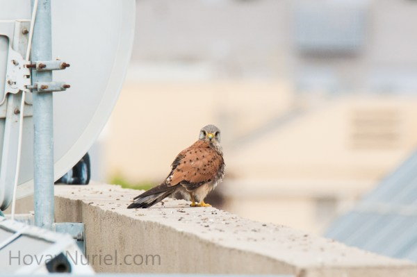 Common Kestrel, TLV, Israel