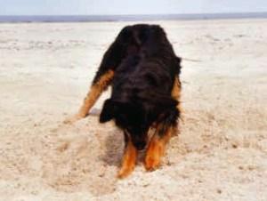 hund_sandstrand