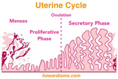 uterine-cycle