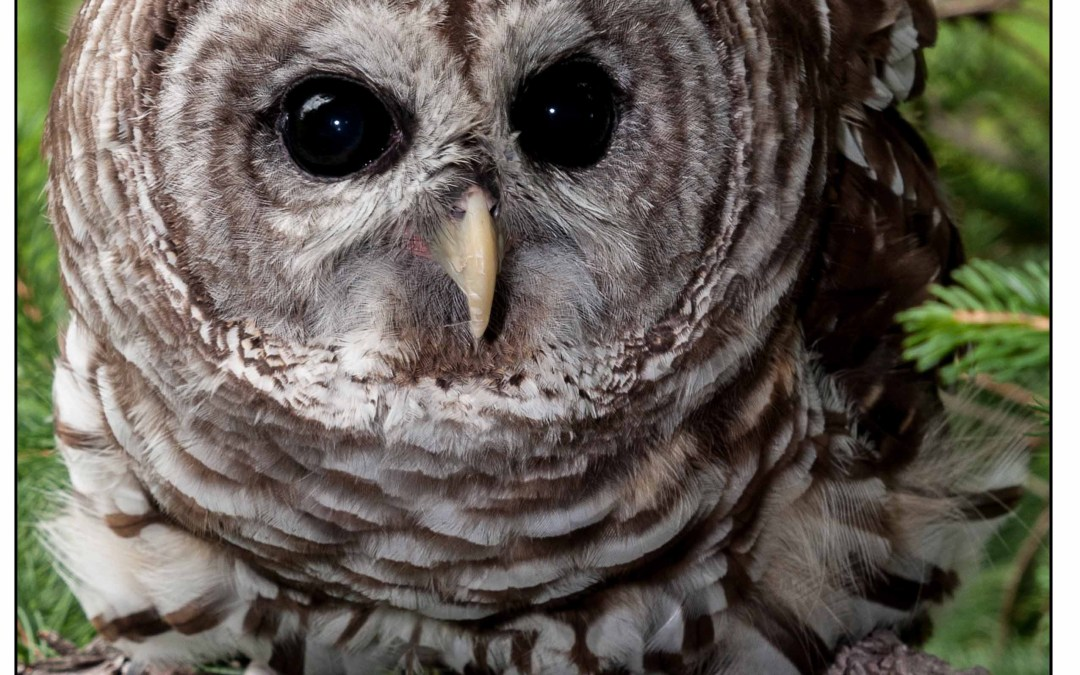 Creature Feature: Ranger the Barred Owl