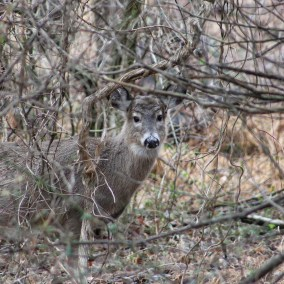 White-tailed deer are common in PAtapsco Valley around the Howard County Conservancy at Belmont