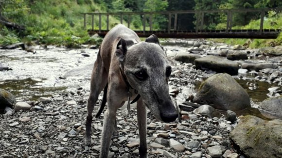our whippet Marra enjoying van life on the road in Europe