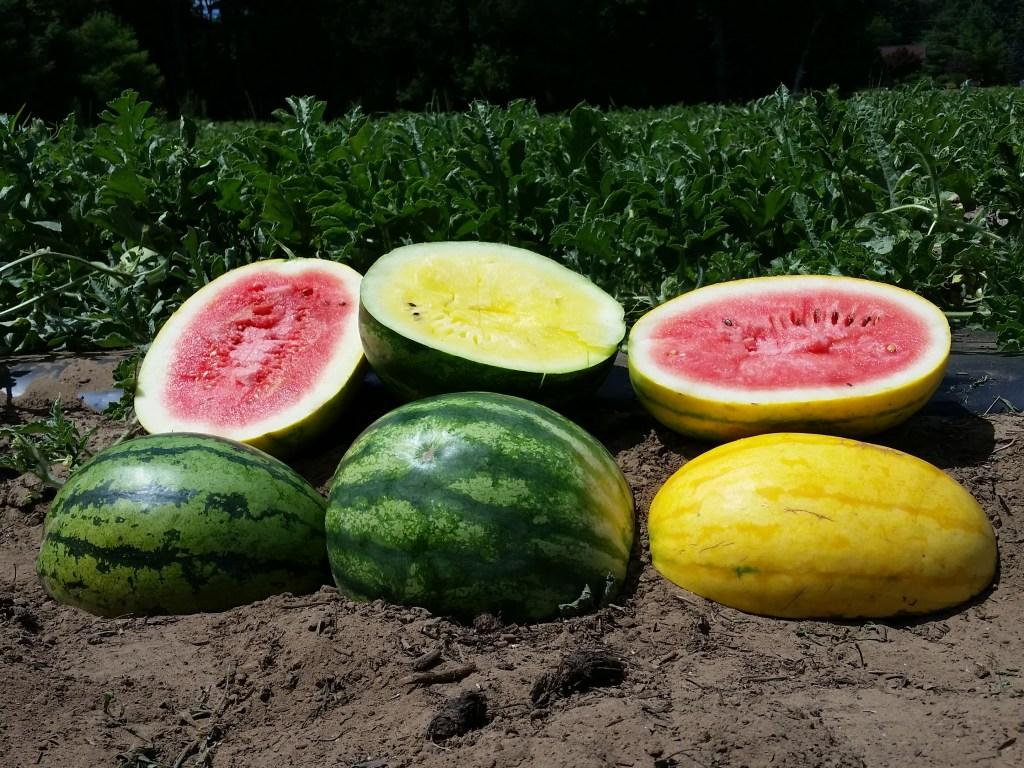 watermelon picking london farm