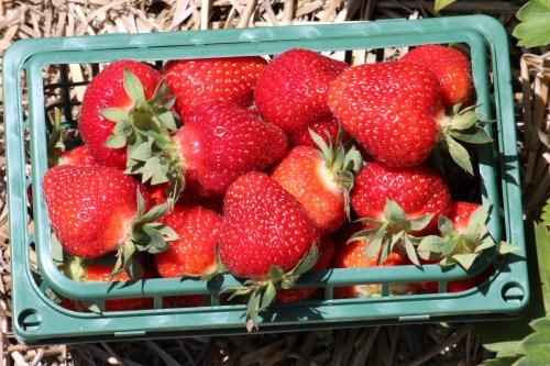 strawberry farm ontario