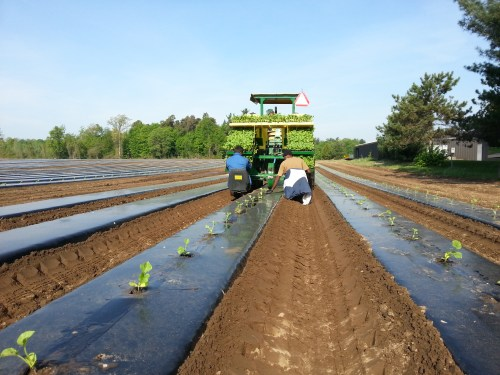 Transplanting onto plastic mulch