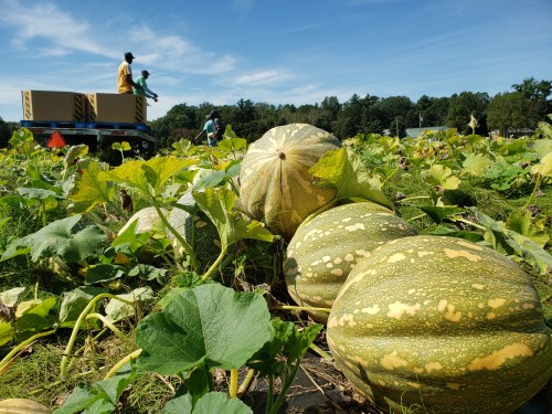 Pumpkins curing on plastic
